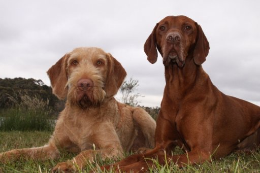 Wire and Smooth Vizsla