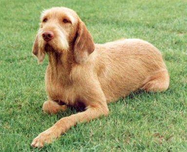 Thai Poodle Dog For Sale