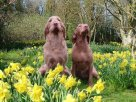 dogs in daffodils