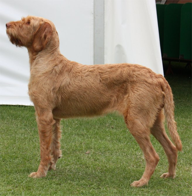 wirehaired breeds